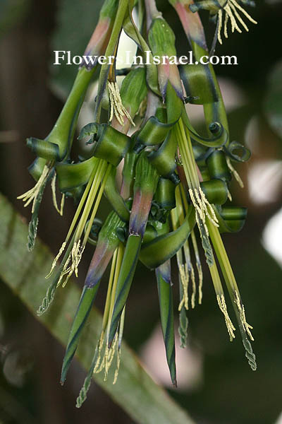 Billbergia nutans,Angel Tears, Queen's Tears, Friendship plant, בילברגיה
