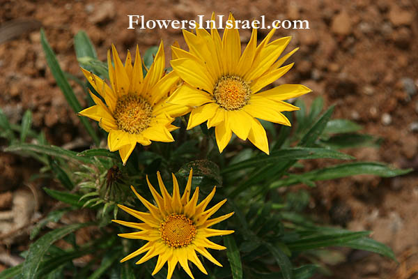 Gazania rigens, Treasure flower, גזניה ריגנס ,פרח הסתדרות, Histadrut flower/Union flower