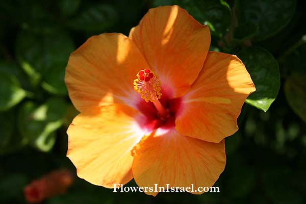 Hibiscus rosa-sinensis,Chinese hibiscus, Shoe flower, היביסקוס