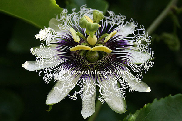 Martha's backyard, exotic flowers, Passiflora edulis, שעונית נאכלת
