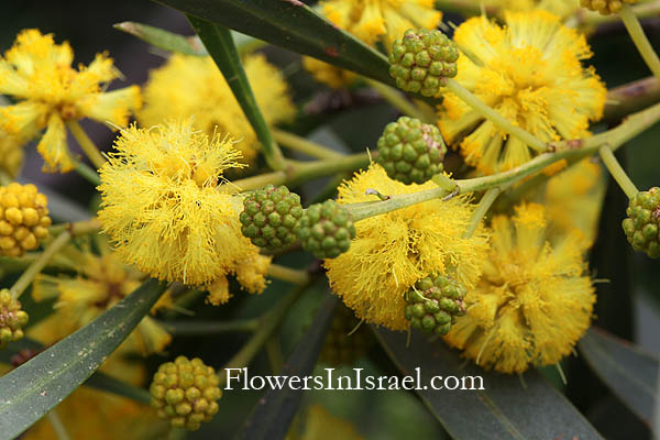 Acacia saligna, Acacia cyanophylla, Sydney Golden Wattle,Golden-wreath Wattle, שיטה כחלחלה, أكاسيا ساليغنا