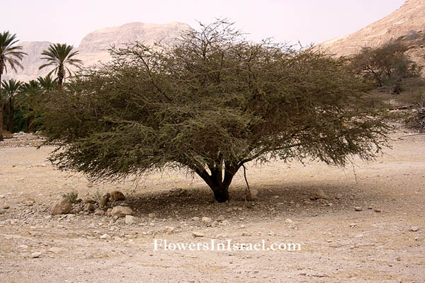 Israel native Trees - Acacia tortilis, Umbrella Thorn Acacia,سمر ,שיטת הסוכך