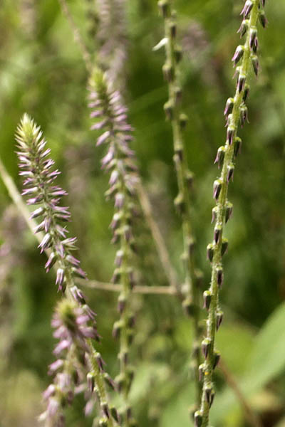 Achyranthes aspera, Washerman's plant, Prickly chaff flower, Devil's horsewhip, چرچٹہ آشنین, רב-מוץ מחוספס