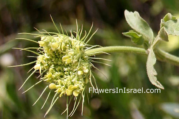 Flowers of Israel