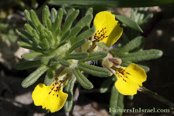 Ajuga chamaepitys, Ground pine, Yellow Bugle, חד-שפה מצוי