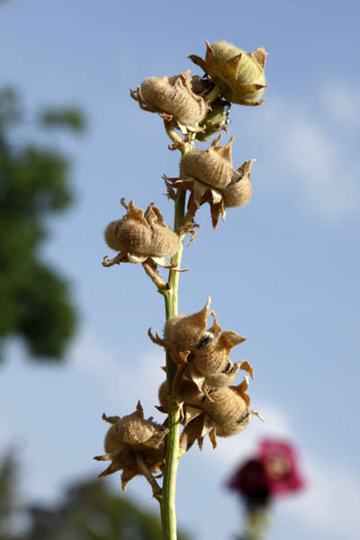Alcea digitata, Althaea digitata, Fingered Hollyhock,خطمية إصبعية  ,חטמית מאוצבעת