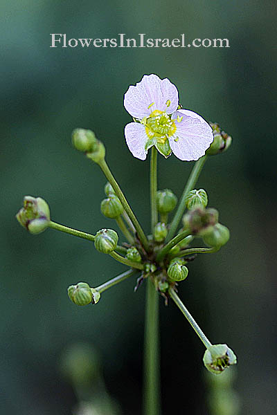 Alisma lanceolatum, Narrow-Leaved Water-plantain, כף-צפרדע איזמלנית,Slanke waterweegbree