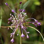 Allium daninianum, Israel, green flowers, wildflowers
