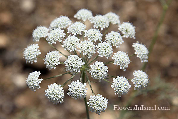 Ammi majus, Bishop's weed, Queen Anne's lace, Ammee,خله شيطاني ,אמיתה גדולה