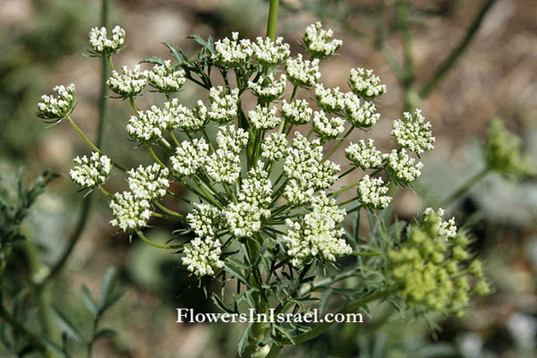 Ammi visnaga, Bishop's weed, Tooth pick,אמיתה קיצית