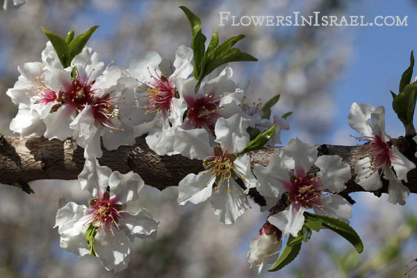 Amygdalus communis, שקדיה, Common almond,שקד מצוי,Tu Bishvat, the New Year of the trees