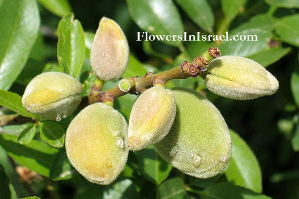 Flora of Israel online, Native plants, Trees