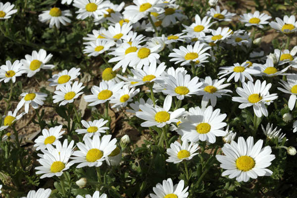 Anthemis leucanthemifolia, Anthemis indurata, Coast Chamomile,
