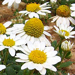 Anthemis leucanthemifoli, Flowers, Israel