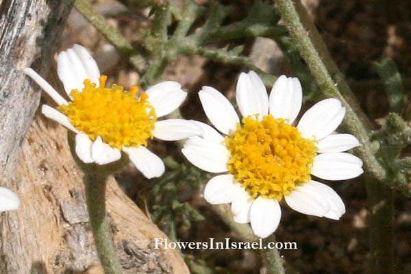 Israel, Flowers, Wildflowers, Send flowers online