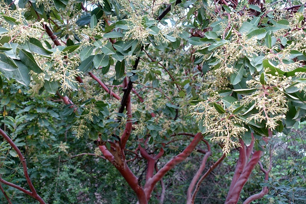 Arbutus andrachne, Eastern Strawberry tree,<br> جناء أحمر ,קטלב מצוי, Janà ahmar