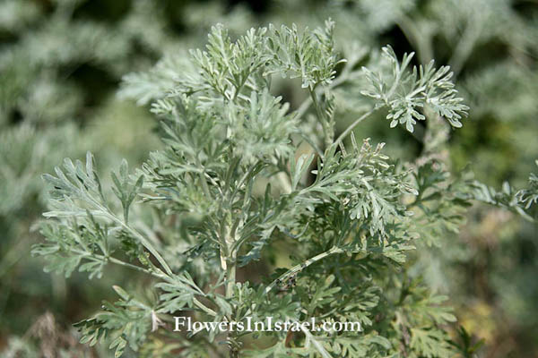 Artemisia arborescens, Tree Wormwood, לענה שיחנית, أرتميزيا