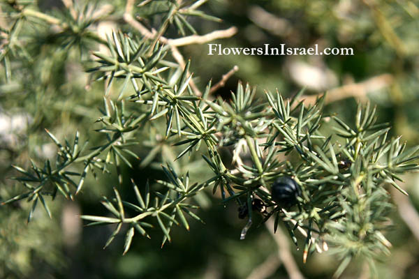 Wild Flowers, Israel, Flora, Send flowers online