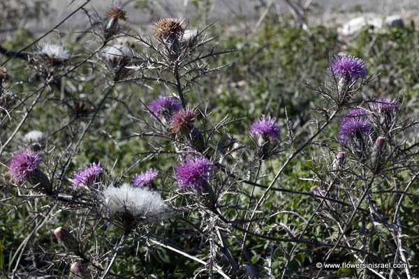Atractylis comosa, Feinbrunia speciosa, Beautiful Distaff-thistle, חורשף מצויץ