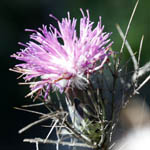 Atractylis comosa, Feinbrunia speciosa, Beautiful Distaff-thistle, חורשף מצויץ, Israel, Purple Flowers