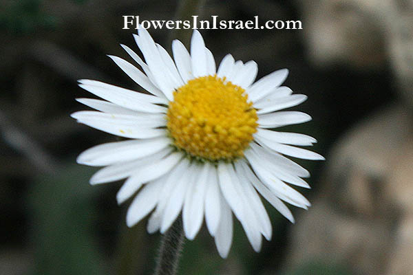 Bellis perennis, Common Daisy, English Daisy, البليس المعمر,חיננית רב-שנתית