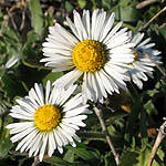 Bellis perennis, Flowers in Israel, Send