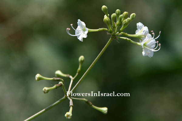 Israel, Botany, Nature, Wildflowers