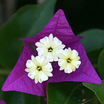 Bougainvillea glabra, Flowers in Israel, Send