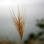 Bromus fasciculatus, Flowers in Israel, Send