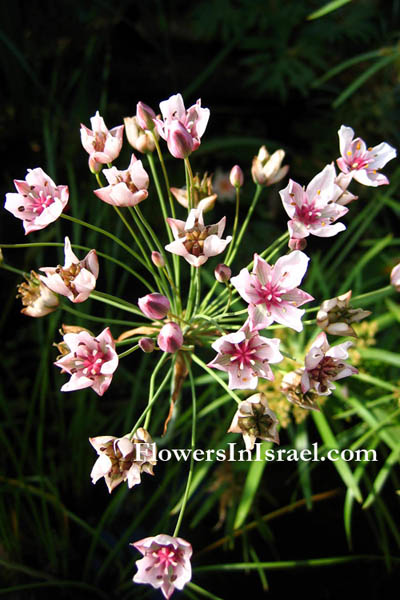 Butomus umbellatus, Flowering Rush,البوطي الخيمي ,בוציץ סוככני