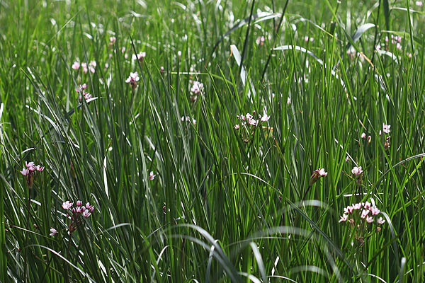Butomus umbellatus, Flowering Rush, בוציץ סוככני