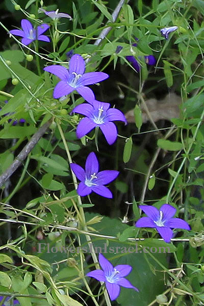 Campanula retrorsa, Bellflower, פעמונית משוננת