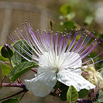 Capparis spinosa, Wild Flowers, Israel, Flora