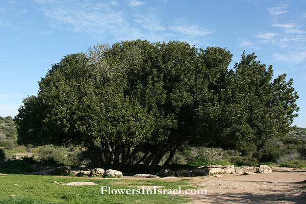 Israel Wildflowers and native plants