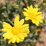 Chrysanthemum viscosum, Israel, Yellow colored flowers