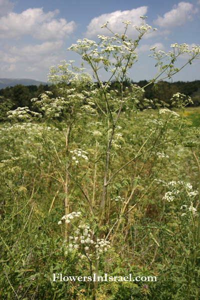Conium maculatum,Poison hemlock,Herb bennet, Mother Die, רוש עקוד