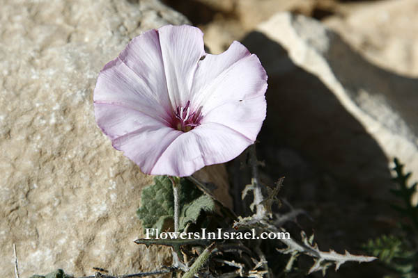 Convolvulus althaeoides,Mallow-leaved bindweed, Falmate Bindweed, لبلاب ختمي ,חבלבל ,כפני