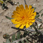 Crepis aculeata, Barkhausia aculeata, Crepis pungens,سَراغَة شائكَة ,ניסנית שיכנית, Yellow colored flowers