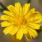 Crepis aspera, Yellow colored flowers