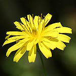 Crepis sancta, Israel, Yellow colored flowers