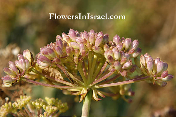 Israel flowers, Crithmum maritimum,Samphire,Sea fennel,Peter's cress, קריתמון ימי, القرثمن البحري