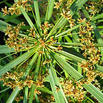 Cyperus alternifolius, Israel, Brown Flowers