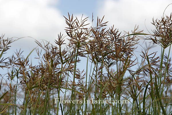 Israel, Flowers, Cyperus rotundus,Coco nut-grass, גמאיים ,גומא הפקעים,حشيشة السعيد