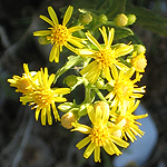 Dittrichia viscosa, Israel, Yellow colored flowers