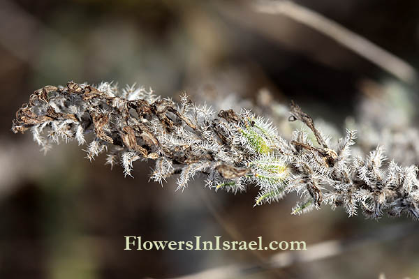Israel, Travel, Nature, Flowers, Botany
