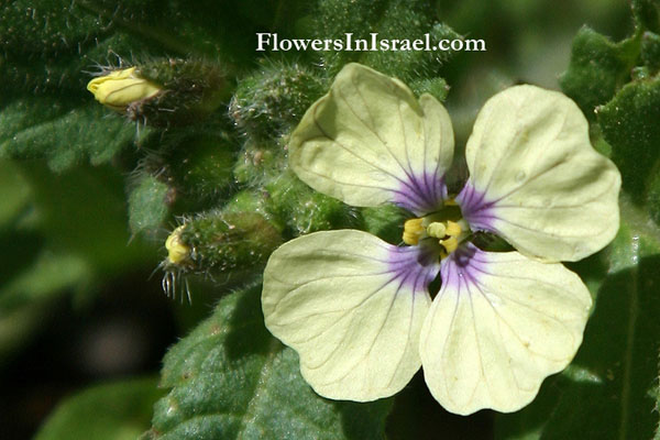 Wildflowers, Israel, Send flowers OnLine
