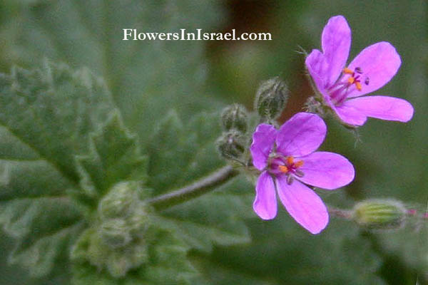 Erodium botrys, Longbeak stork's bill, Broadleaf filaree, מקור-חסידה יפה, Geraniaceae, גרניים