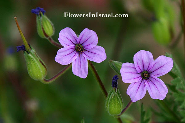 Erodium cicutarium, Redstem Filaree, Common stork's-bill, Hemlock geranium,מקור-חסידה גזור, الرقمة الشوكرانية