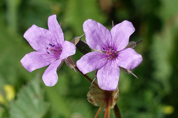 Erodium laciniatum, Cutleaf Stork's Bill, מקור-חסידה מפוצל