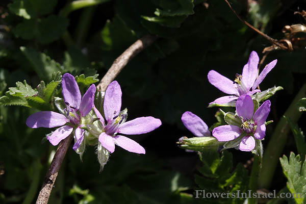 Flowers of Israel online, Native plants, Flora